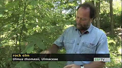 Trees with Don Leopold - rock elm