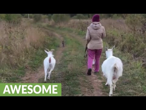Dog, cat & goats enjoy walk together