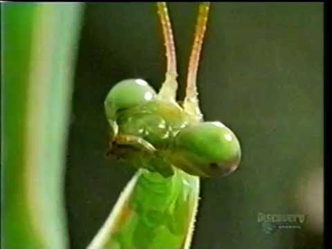 Weird Nature  Bizarre Breeding: Mantises 2002