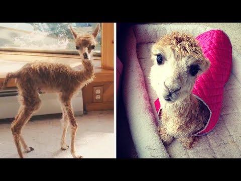Cody: Cute Rescue Alpaca Who Was Born Too Small | Bored Panda Anaimls