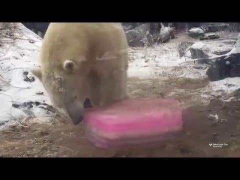 Polar bear spends Valentine's Day with true love: Ice cake