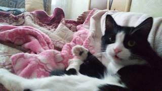 ЧЁРНО БЕЛЫЙ кот СТЁПКА(СМОКИНГ)---чистота залог здоровья !!!(уход за мехом1часть)