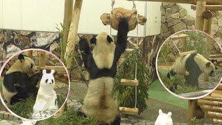 【バレンタイン2020❤】永明さんと肘掛けダルマ⛄&縄はしご✨【お父さんパンダ】Giant Panda -Eimei-☆Valentine's day💝
