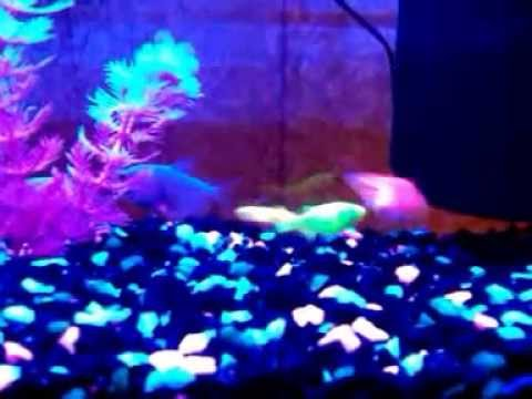 Glofish crazy - YouTube