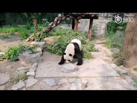 Посетители зоопарка забросали панду камнями