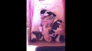 フレンチブルドッグのパイドたちと寝てるブルドッグBABY。GRAN BLUE犬舎...