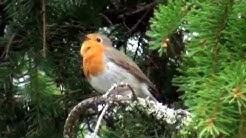 Punarinta laulaa kauniisti (Erithacus rubecula)