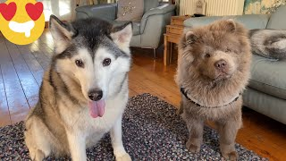 Huskies Adorable Reaction To Meeting New Rare Lilac Chow Chow Puppy! [CUTEST REACTION]