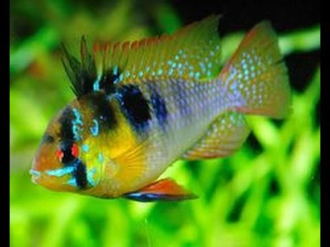 Opinion you sexual dimorphism ffreshwater fish can recommend