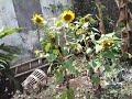 panen bunga matahari