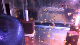 My Koi Angelfish Project