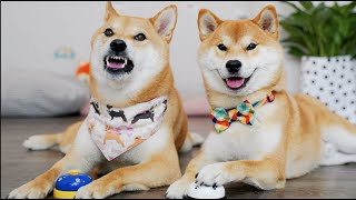 【4K】教柴犬按铃铛讨零食 小狗Haki直接翻脸:我想直接吃!
