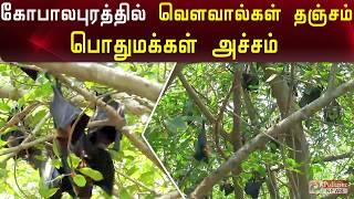கோபாலபுரத்தில் வெளவால்கள் தஞ்சம் - பொதுமக்கள் அச்சம்