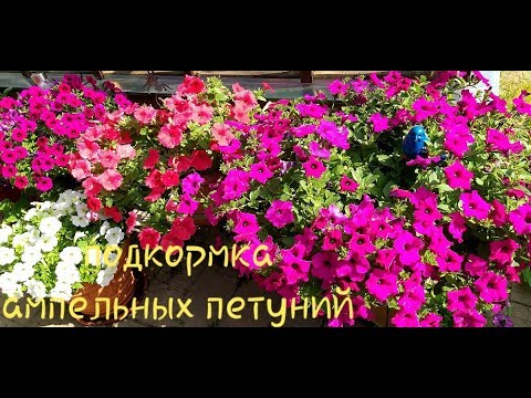 Петунии в июне/Чем подкормить для пышного цветения/Сколько штук сажаю в горшок
