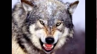 Zobacz jakie moga byc grozne wilki