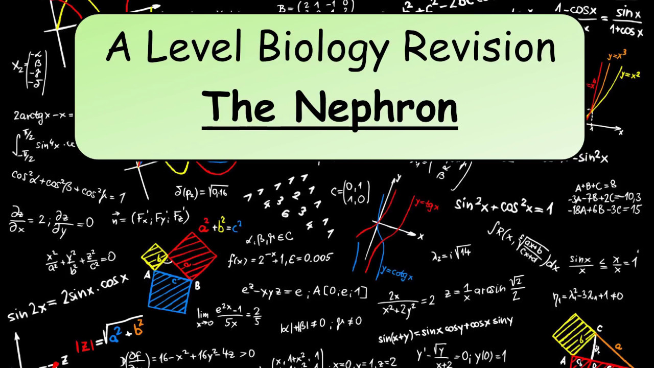 A Level Biology Revision: The nephron - YouTube