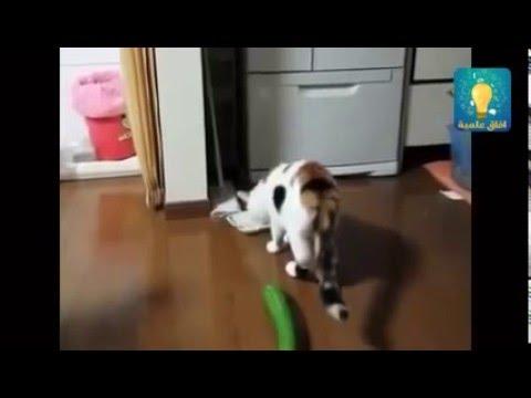 Mèo sợ dưa chuột - cat afraid cucumber