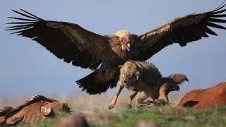 Самая Свирепая И Опасная Птица В Мире Венценосный Орел