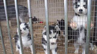 Продажа щенков Сибирской хаски.