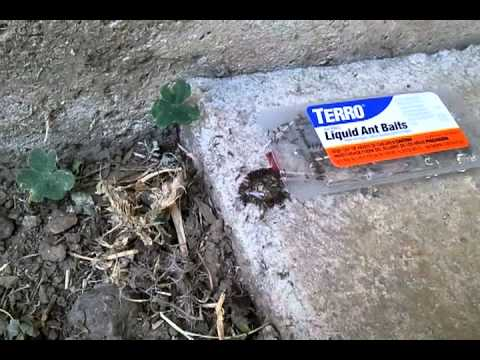 how to use ant traps