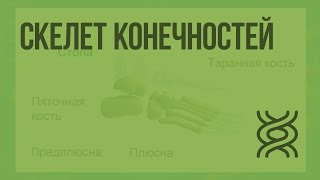 Скелет конечностей. Видеоурок по биологии 8 класс