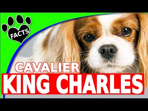 Cavalier King Charles Spaniel Cool Fun Facts Cutest Dog Breeds Dogs 101