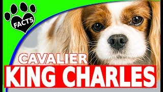 Dogs 101 Cavalier King Charles Spaniel Cool Fun Facts Information  #cavie