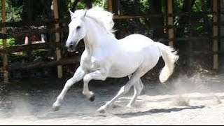 Amazing White Horse Race !! Amazing Nature