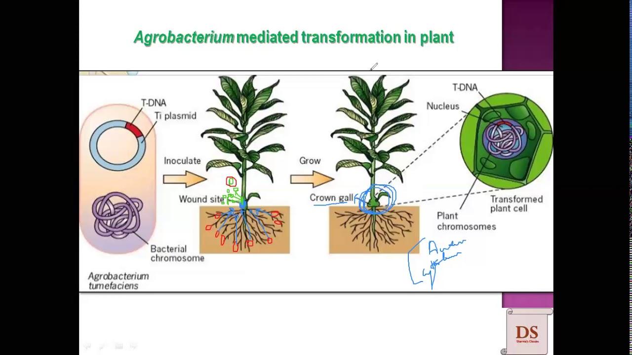 """Multe plante au fost """"modificate genetic"""" de către bacterii"""