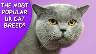 Are British Shorthair Cats A Popular UK Breed?