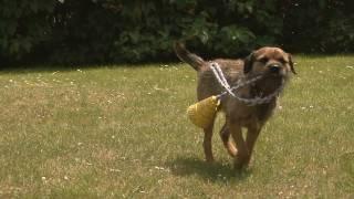 Chewie Border Terrier Au Ralenti - Slow Motion Full Hd 1080i