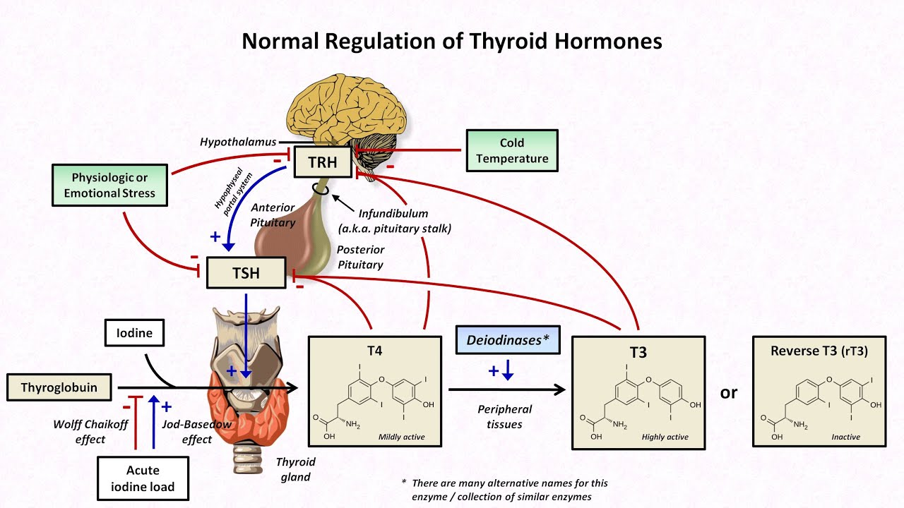 Hormones Thyroid Gland Diagram Electrical Drawing Wiring Diagram