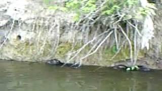 cerquilho rio sorocaba icrível bando de porcos do mato invadem o rio