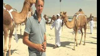 Middle East Business Report: Camels