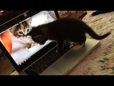5 Week Old Kitten Reacting to Kittens Meowing