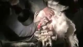 Индюки  Искусственное оплодотворение  БИГ 6  Хайбрид конвертер