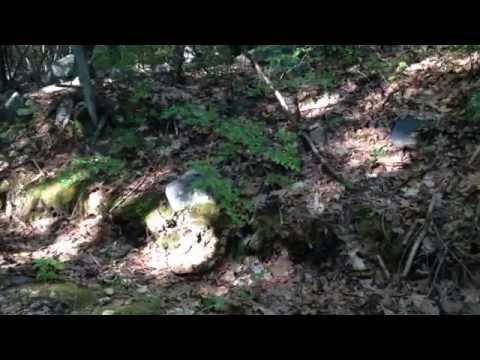 Timber Rattlesnake in the Blue Hills of Massachusetts