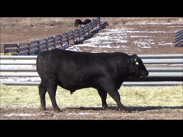 Connealy Angus Lot 480