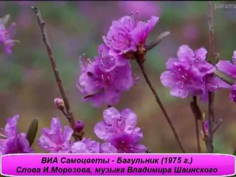 Багульник Рододендрон Даурский