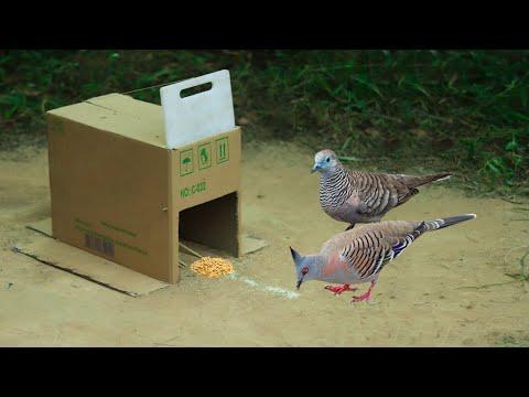 Best Bird Trap Technology Using Cardboard Box & Plastic Cutting Board   Easy Dove Bird Trap