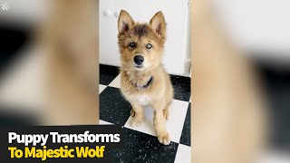 Wolf dog went from adorable puppy to majestic wolf in ONE year.