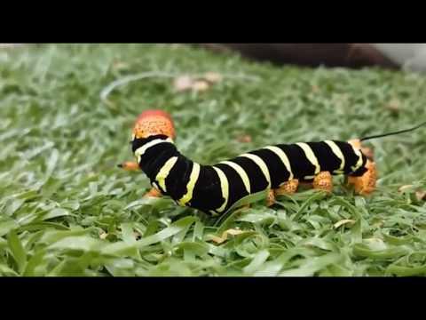 Beautiful Tiny Caterpillar Moving Funny
