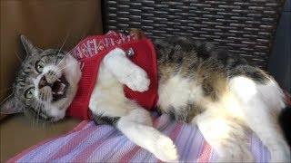 リキちゃんの逆鱗に触れてしまいました・・激おこ猫ちょいゴジラ化☆猫とおでかけ・喫茶店へ☆怒る猫・威嚇する猫・猫パンチ【リキちゃんねる 猫動画】Cat video キジトラ猫との暮らし