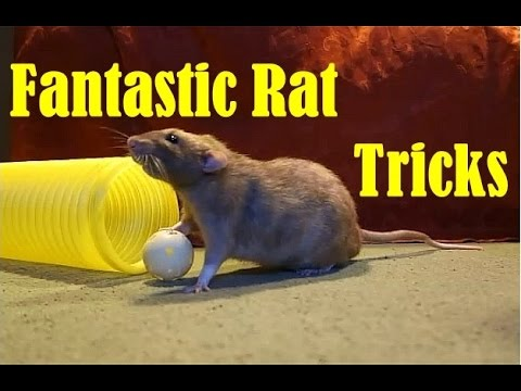 Fantastic Tricks with the Rat Gang