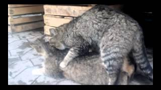 Любовь кошек. Кот массажист.