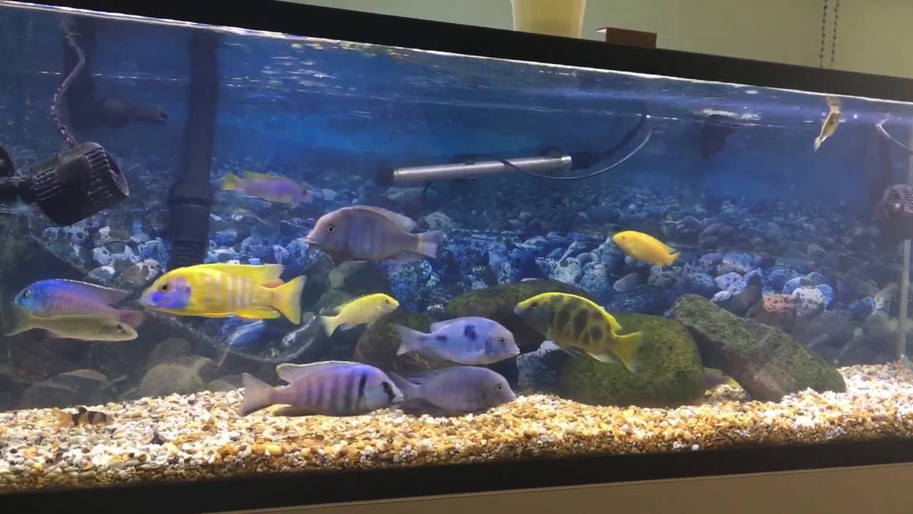 60 gallon cichlids tank youtube for Decoration aquarium 60 litres
