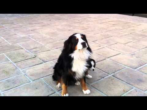 Cute bernese mountain dog and puppy