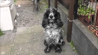 うちの愛犬(イングリッシュコッカースパニエル)です。ペットボトルやボ...