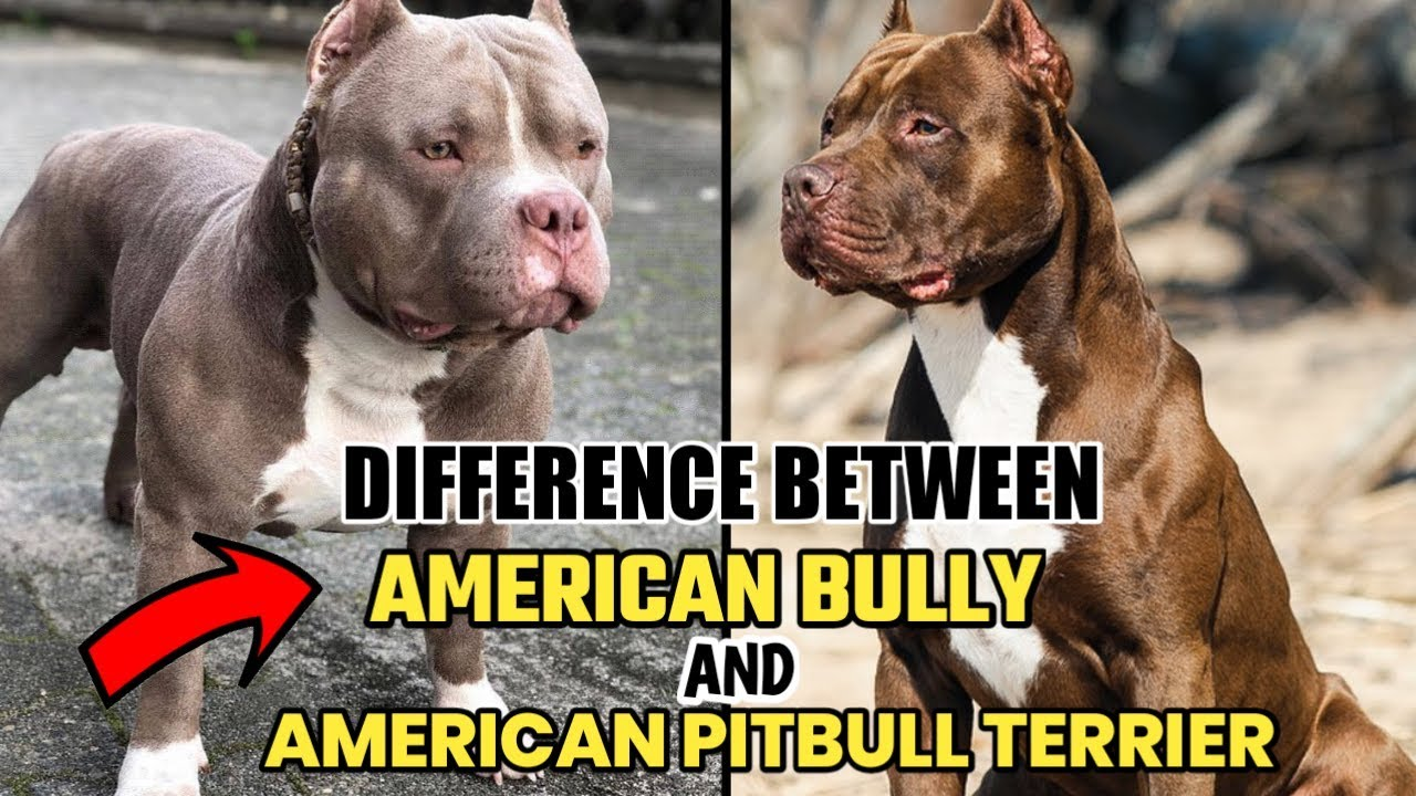 Difference Between American Bully And American Pitbull Youtube