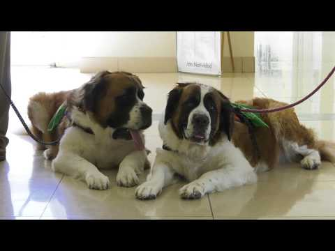 Saint Bernard Therapy Dogs